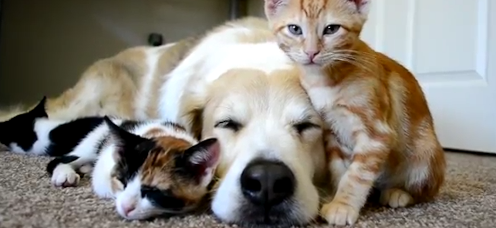 Film: Hund sover sött med kattungar