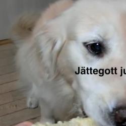 Majsiga mumshunden