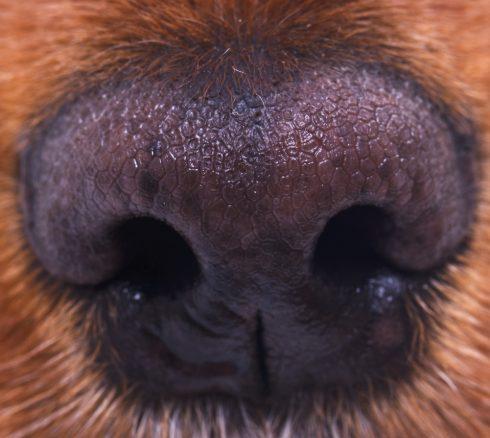 Hundarna som luktar sig till cancer