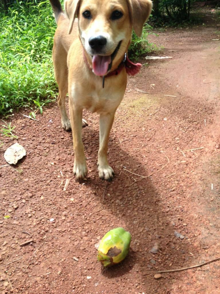 Ibland får man presenter, här i form av en liten, liten kokosnöt.