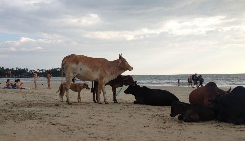 En hund som nog trodde den var en ko...