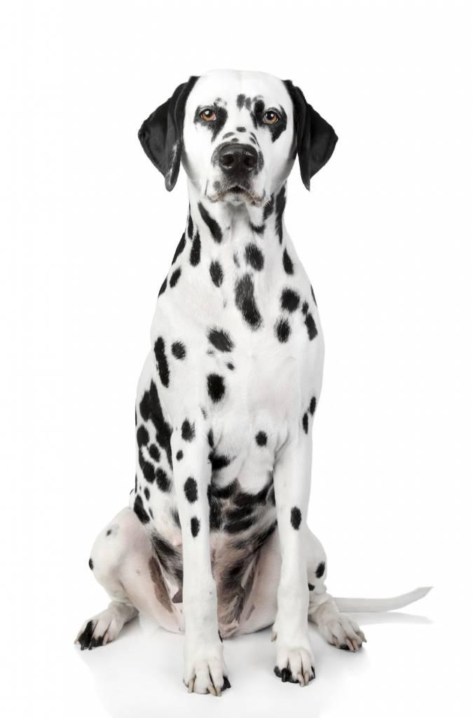 Dalmatian dog portrait