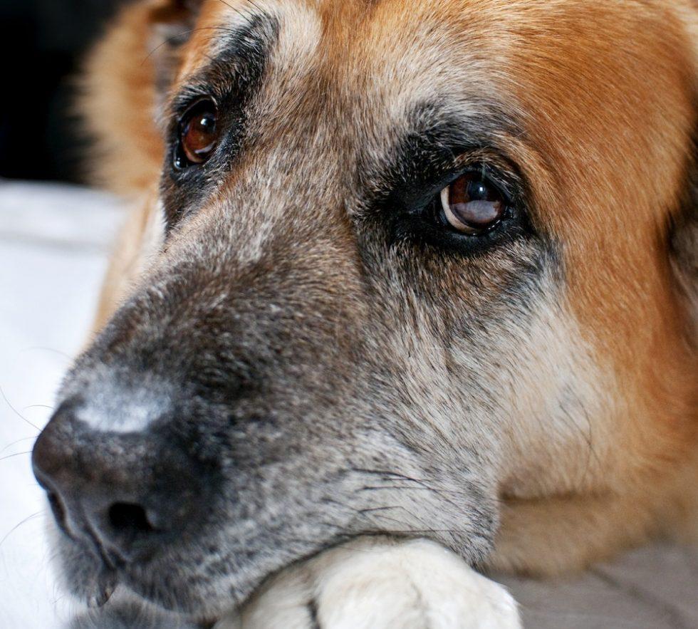 5 tecken på att din hund kan vara dement