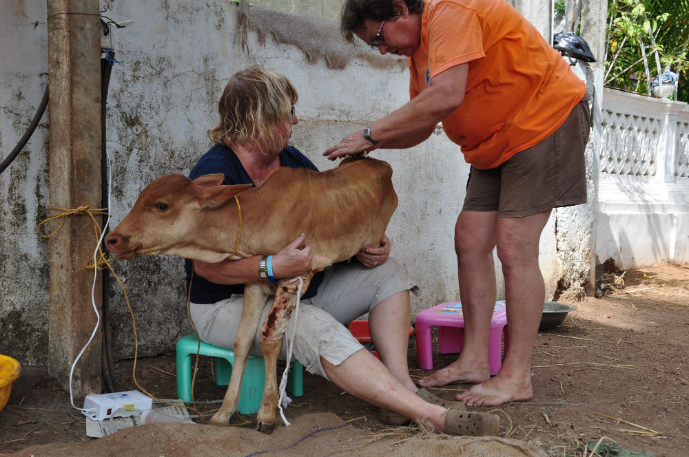 Kalvens sår tas om hand  och den måste matas med nappflaska flera gånger om dagen.