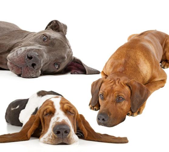 Vilken hundras passar dig? Gör ett test!