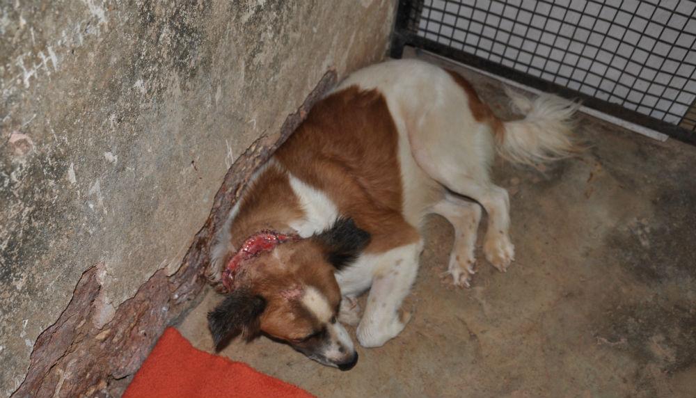 Denna hund räddades från ett liv i koppel. Såret är efter kedja som suttit för hårt.