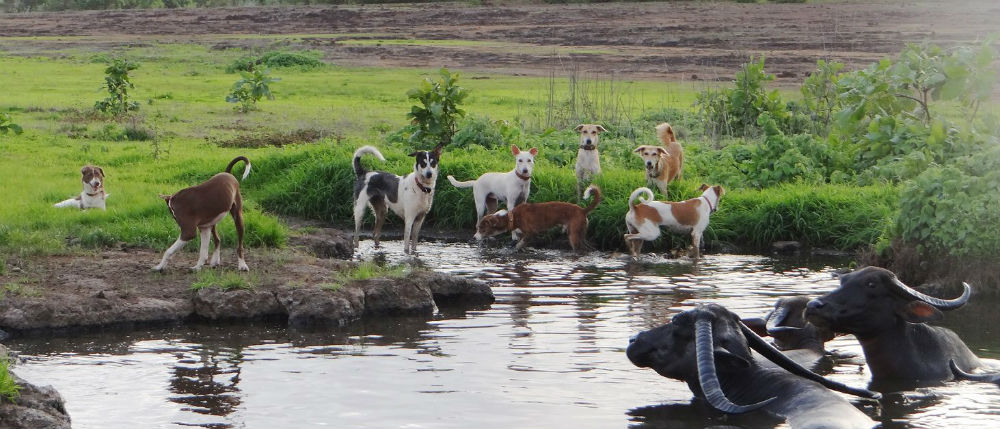 Fina gatuhundar i Goa och badande vattenbufflar.