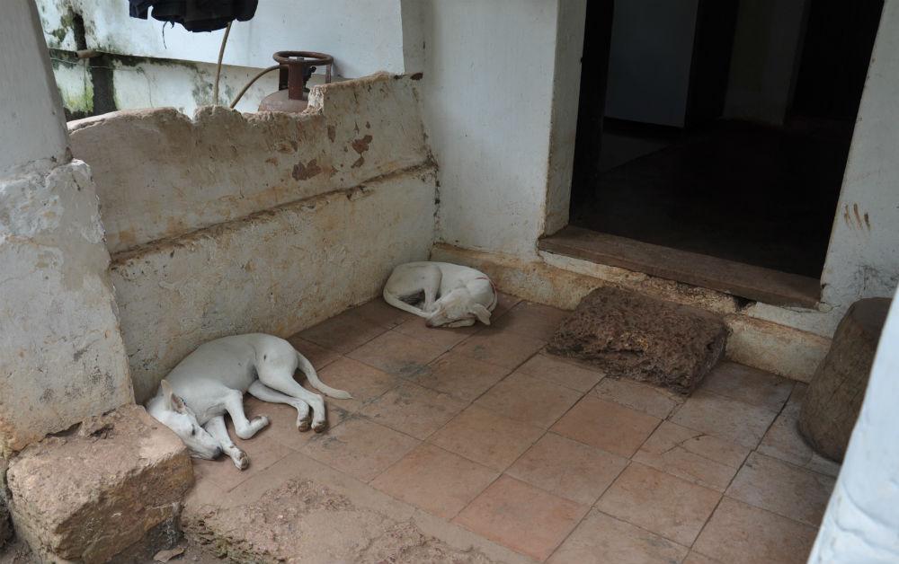 Fina små vita unghundar.