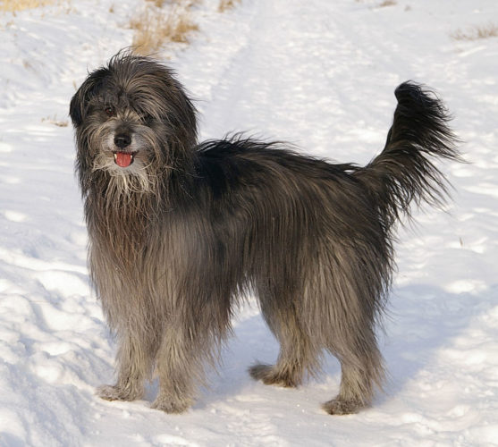 Pyreneisk vallhund i snön