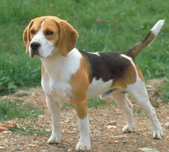 Beagle-SM nästa helg