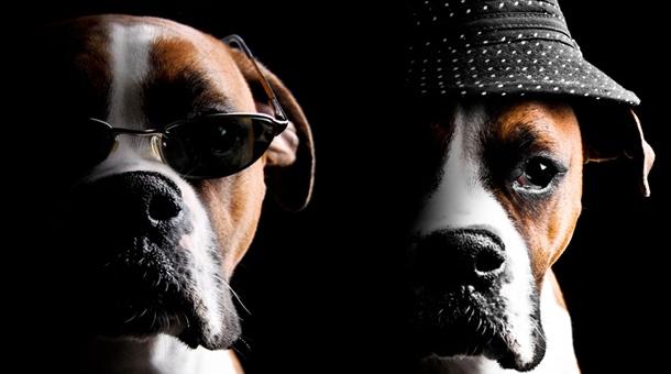 coola hundar i hatt och solglasögon