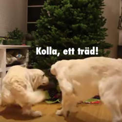 glada golden retrievrar kring julgran