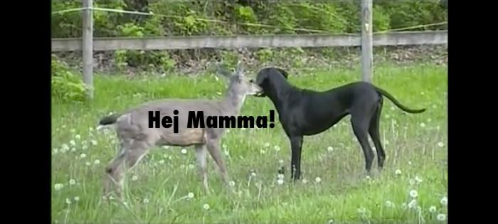 Rådjurskid med Grand danois-mamma