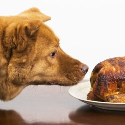 Dog about to eat rotisserie chicken