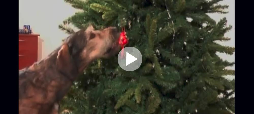 Hundarna som fixar julstöket