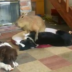 två hundar och en kapybara