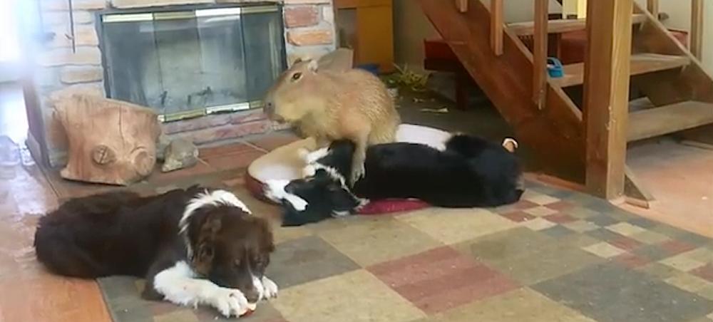 kapybaran