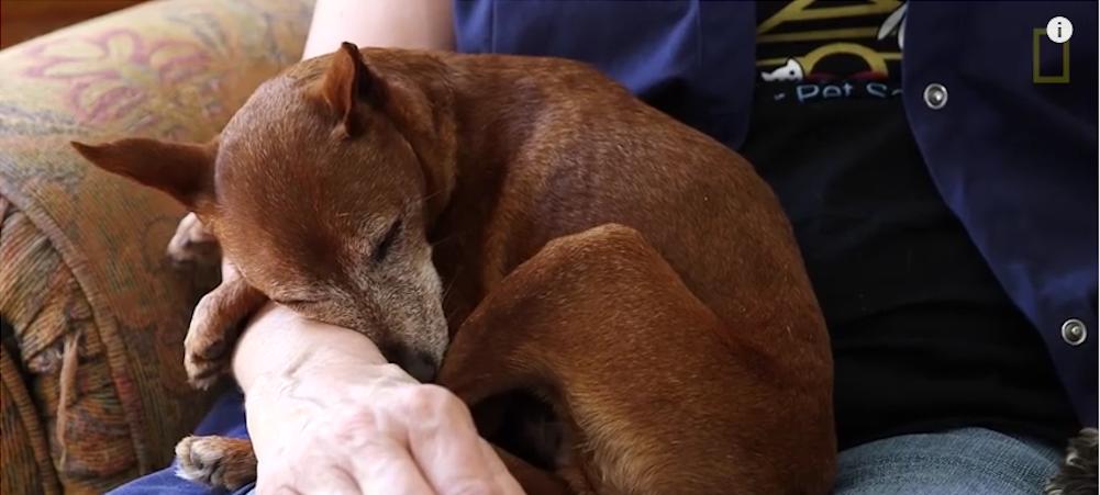 äldre hund sover i någons knä