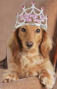 Bortkämd hund med prinsesskrona