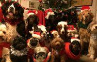 Alla hundarna på Mimmis hunddagis i luciamundering