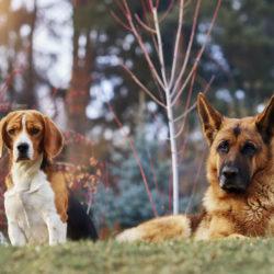Beagle och schäfer ser förbryllade ut