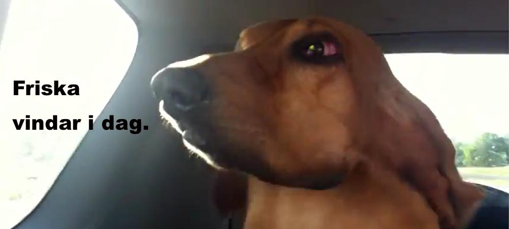 blodhund i bilen