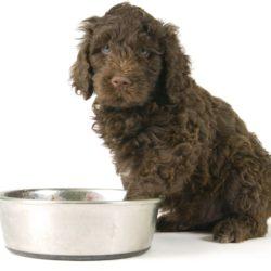 söt brun hund vid matskål