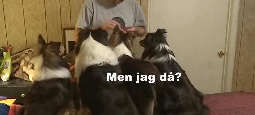 hundar i rad får godis av husse