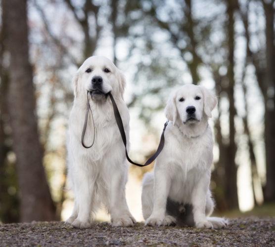 Kastrera hunden – eller inte?