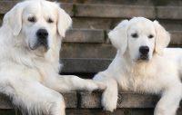 Sjuka hundar i Norge