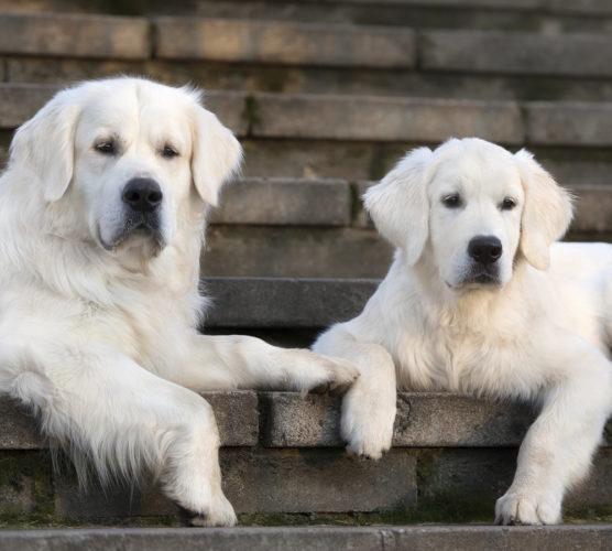 Kastrera hunden – så här går det till