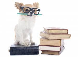 chihuahua med böcker och glasögon