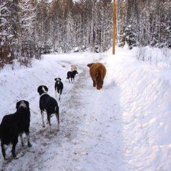Kon Margit och de andra hundarna i familjen på promenad