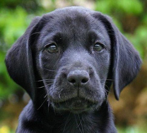 svart labradorvalp