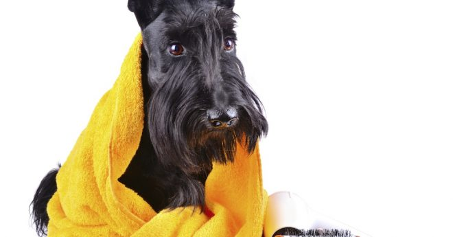 Skotte i gul handduk med borste bredvid