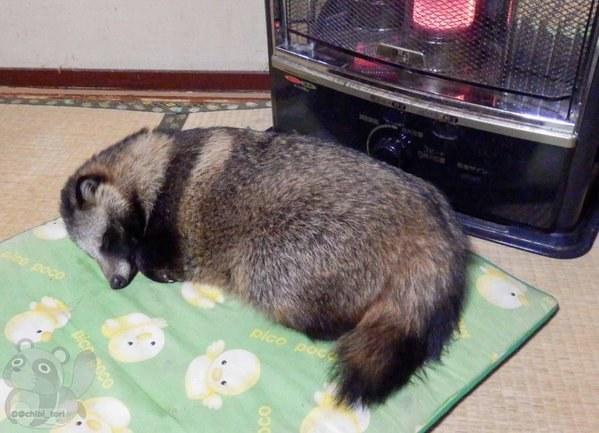 sovande mårdhund