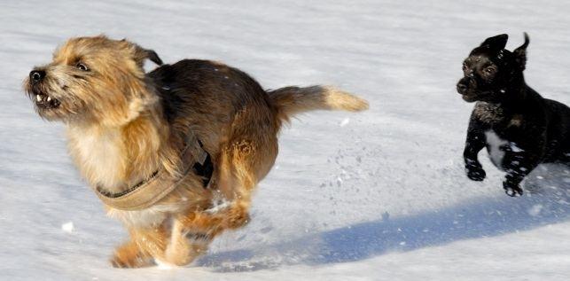 hundar springer i snön