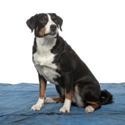 5 fakta om appenzeller sennenhund