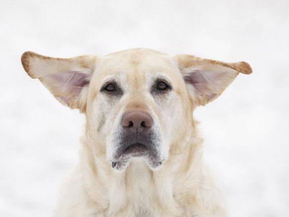 labbe med flaxiga öron
