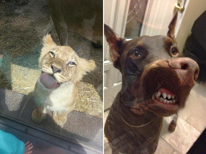 lejonunge och hund slickar på fönsterruta