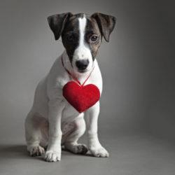 Söt terrier med rött hjärta om halsen