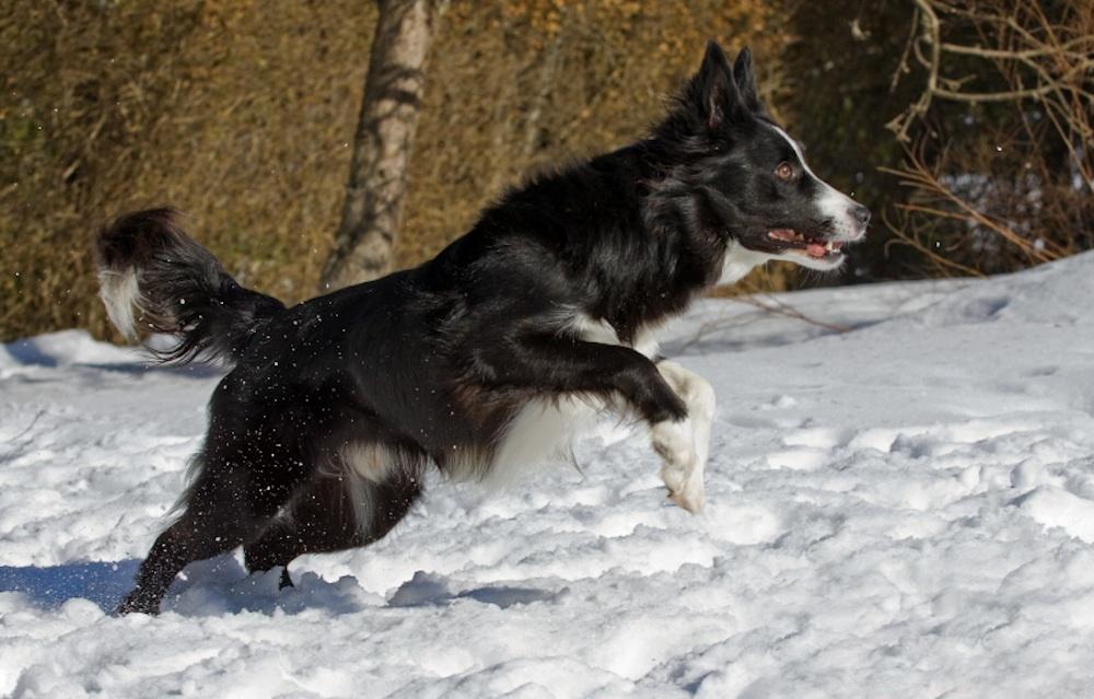 hund hoppar i snön