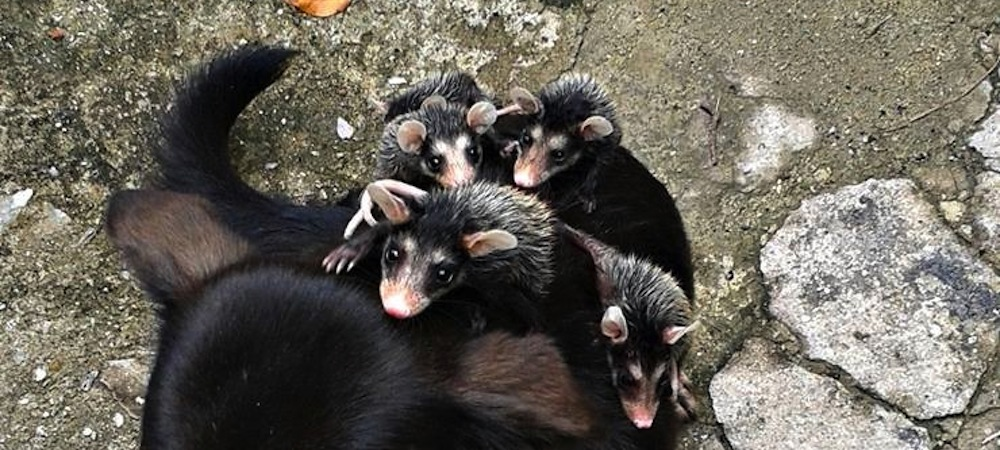små opossumråttor på hunds rygg