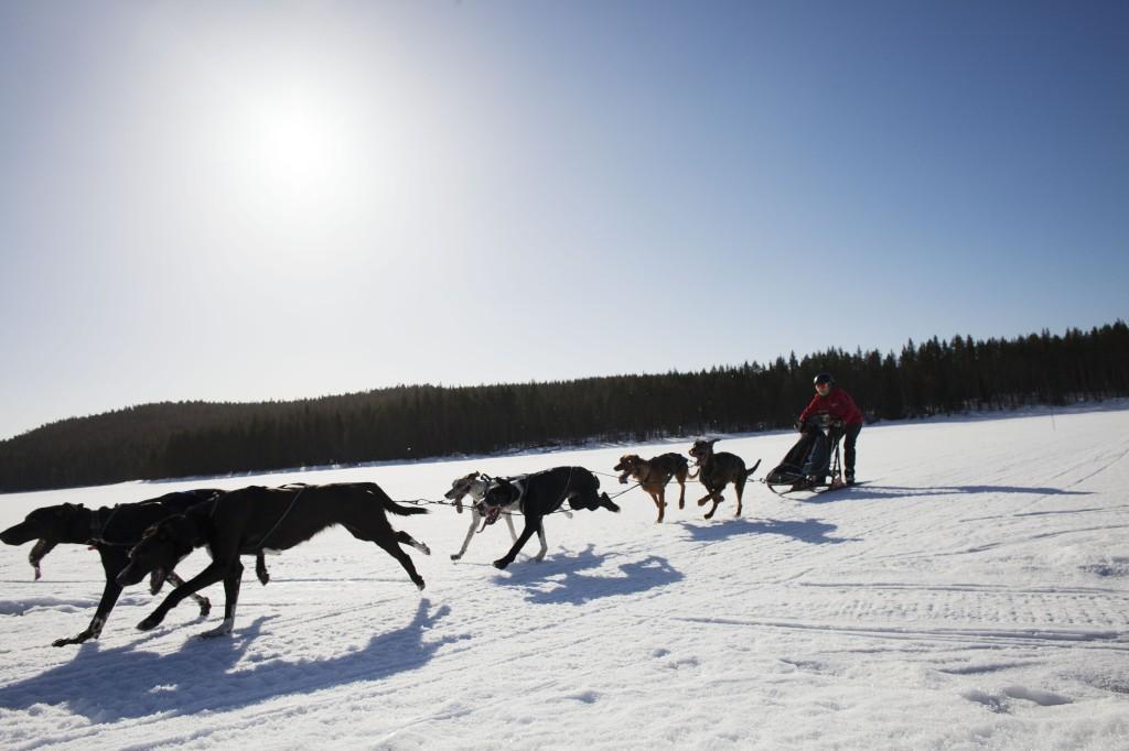 draghundsekipage i Vindelälvsdalen