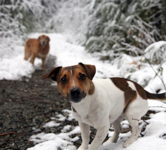 jackrussel terriers i snölandskap