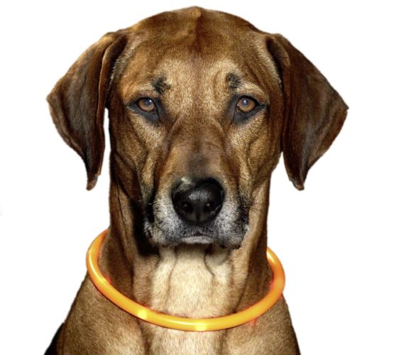 hund med blinkhalsband
