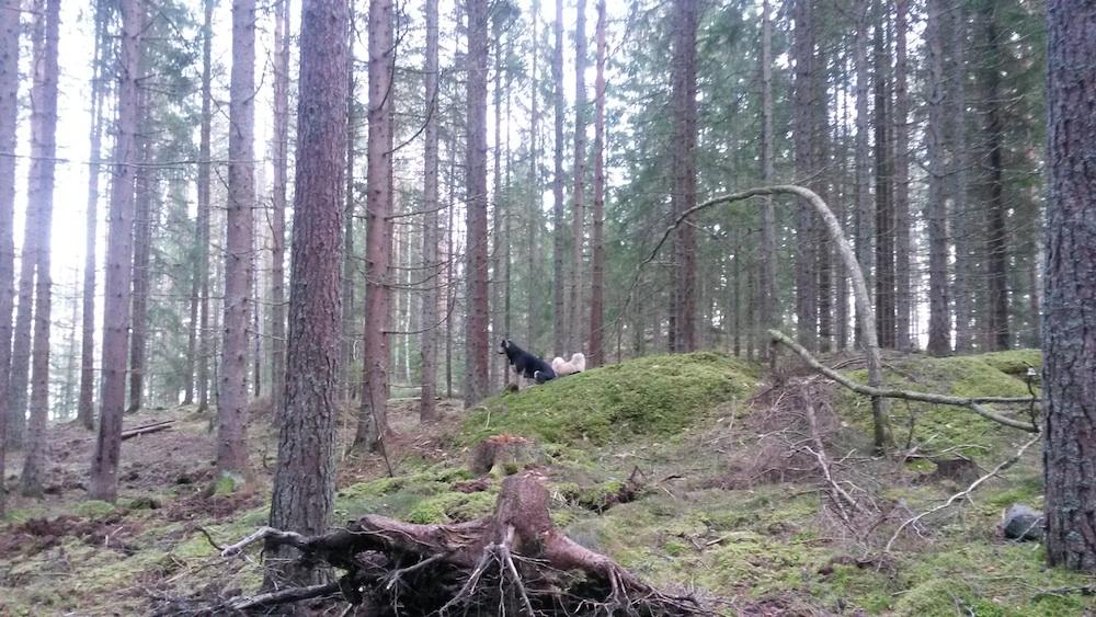 Hundarna Koi och Krutor i skogen