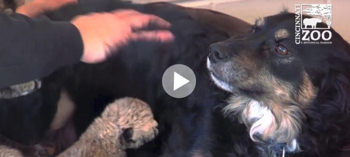 Hunden Blakely blev adoptivpappa till gepardungar