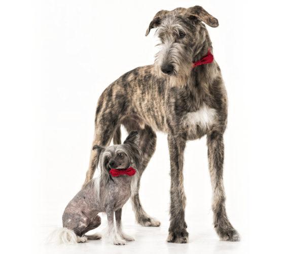 Har småhundsägare sämre pli på sina hundar?