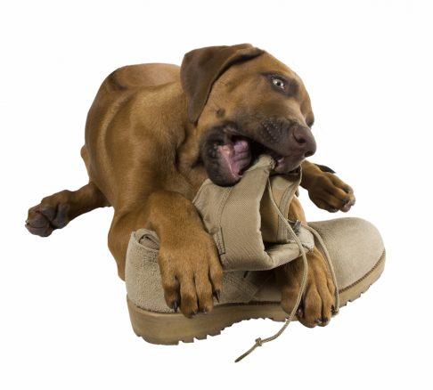 Söt brun unghund, ridgeback, som tuggar på känga